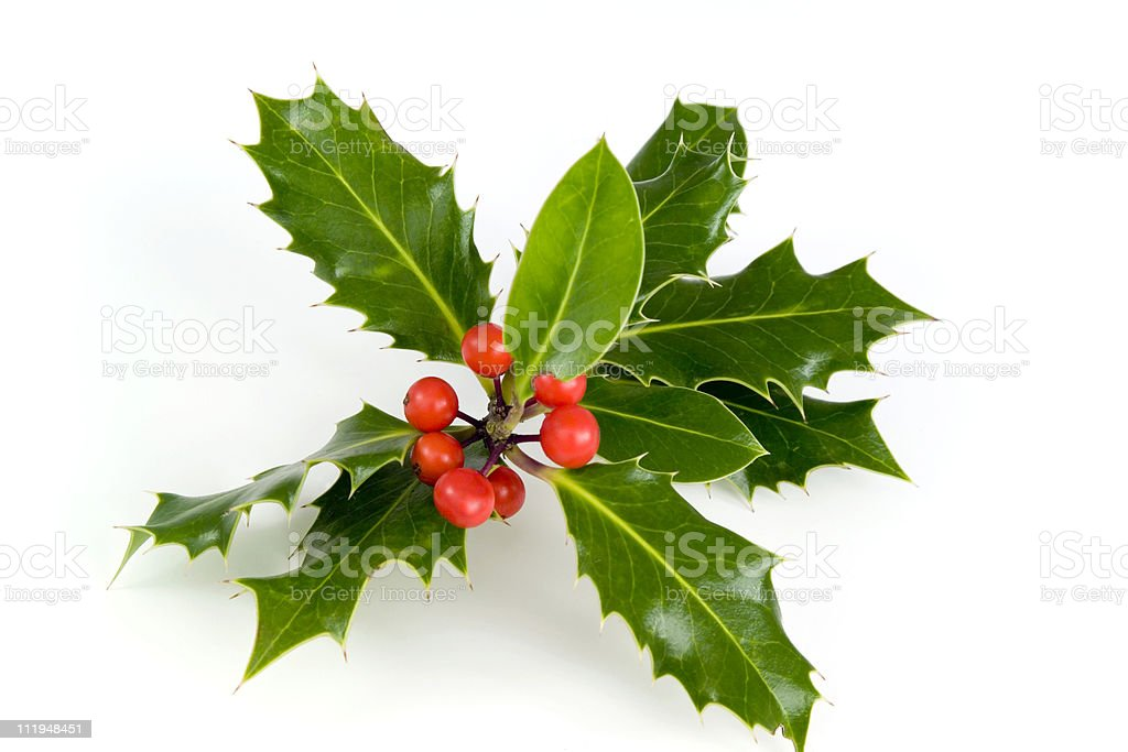 Holly sprig of leaves and red berries on white royalty-free stock photo