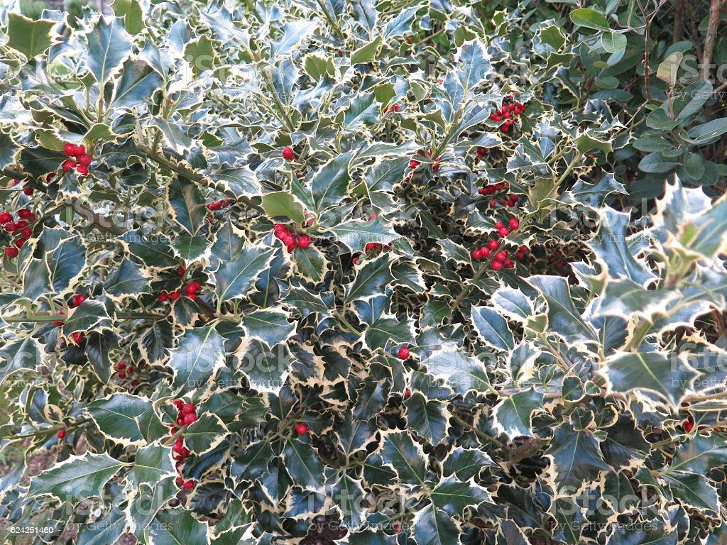 Albero Con Bacche Rosse holly albero con bacche rosse - fotografie stock e altre