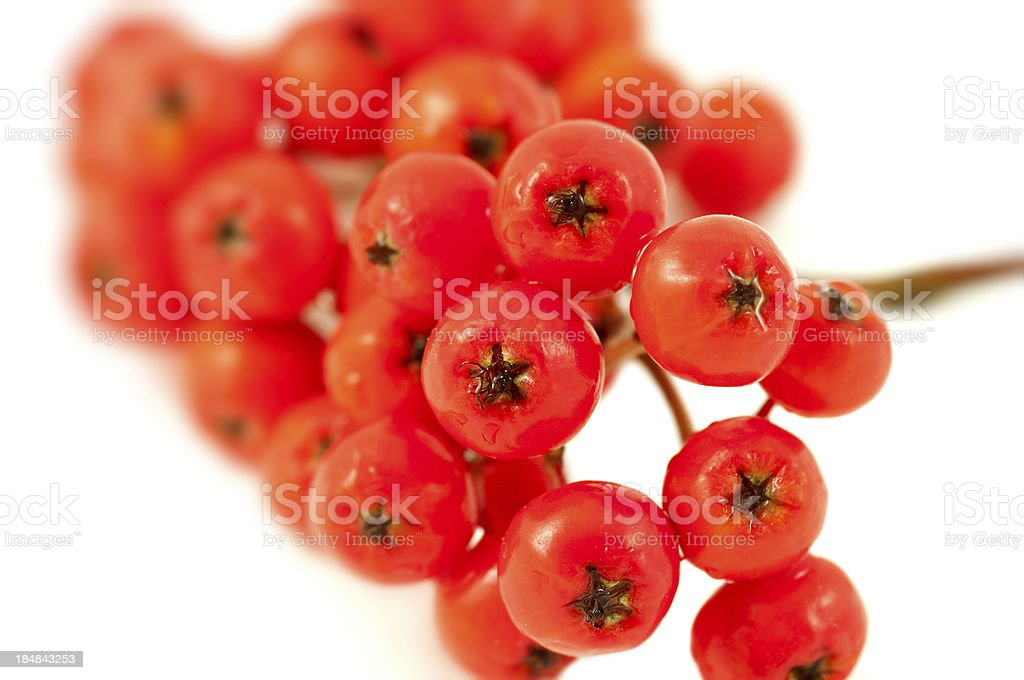 holly twig royalty-free stock photo