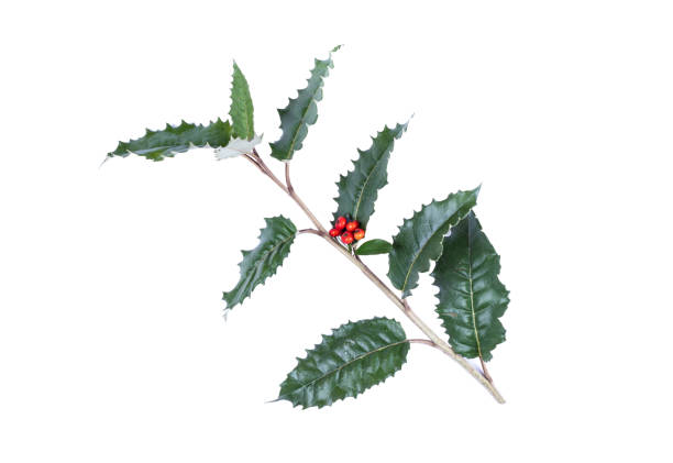 holly with berries, isolated on white - christmas stock photos and pictures