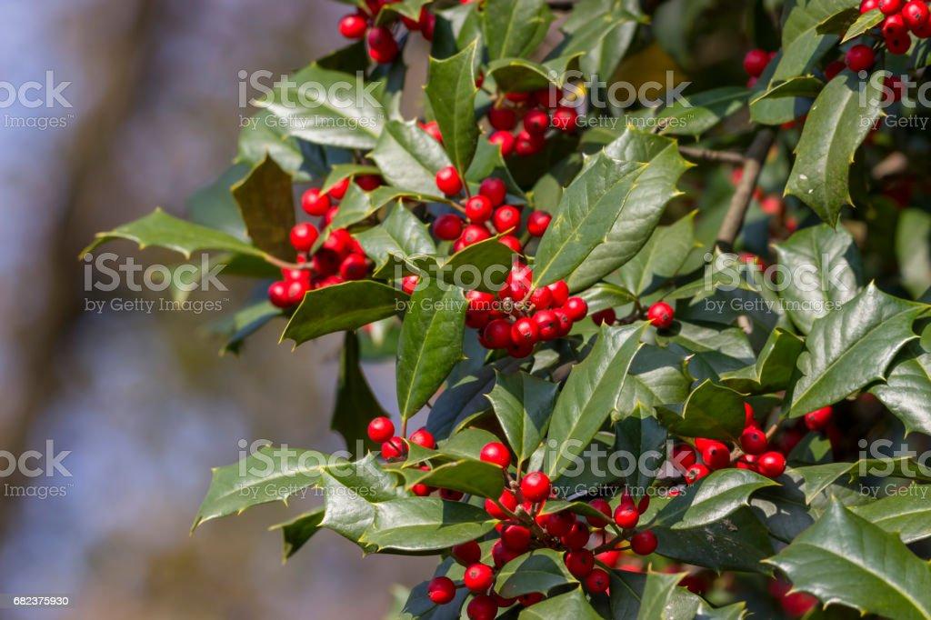 holly with red berries zbiór zdjęć royalty-free