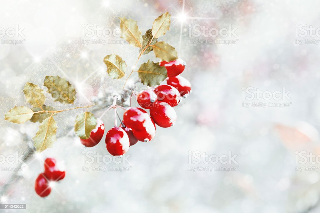 Holly with snow on white background stock photo