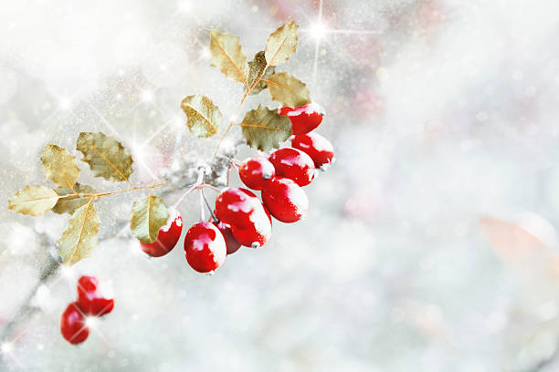 Holly with snow on white background - foto de stock
