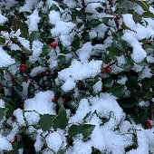 Winter snow on Holly bush