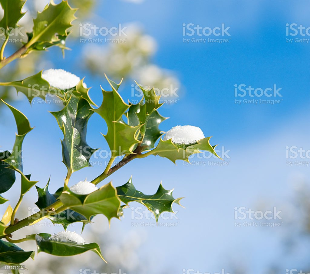 Holly with Snow royalty-free stock photo