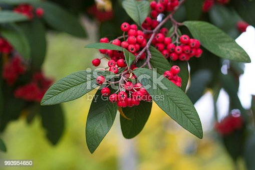 Branch of decorative Hollyberry Cotoneaster tree shot with shallow depth of field in autumn in Hamburg, Germany