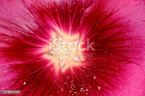 Close up image of a hollyhock flower gives a colourful found abstract