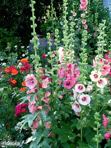 Hollyhock Garden with poppies and daisies