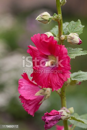 Hollyhock (Alcea rosea) flower bloom in the garden