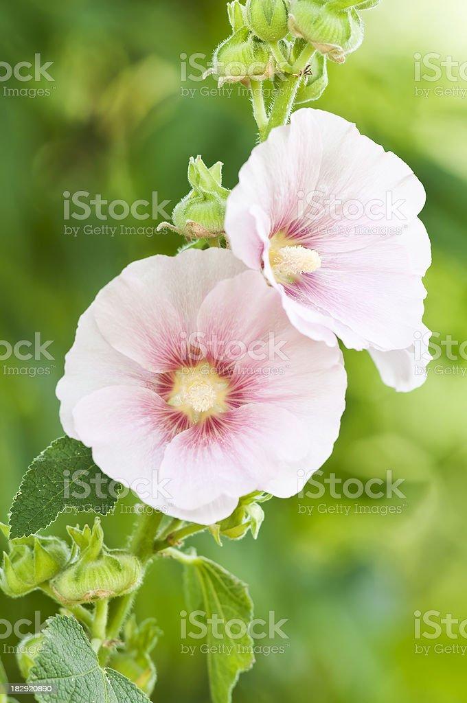 Hollyhock flower (Alcea rosea) - III stock photo
