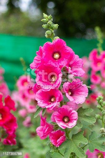 Beautiful Hollyhock flowers in garden.