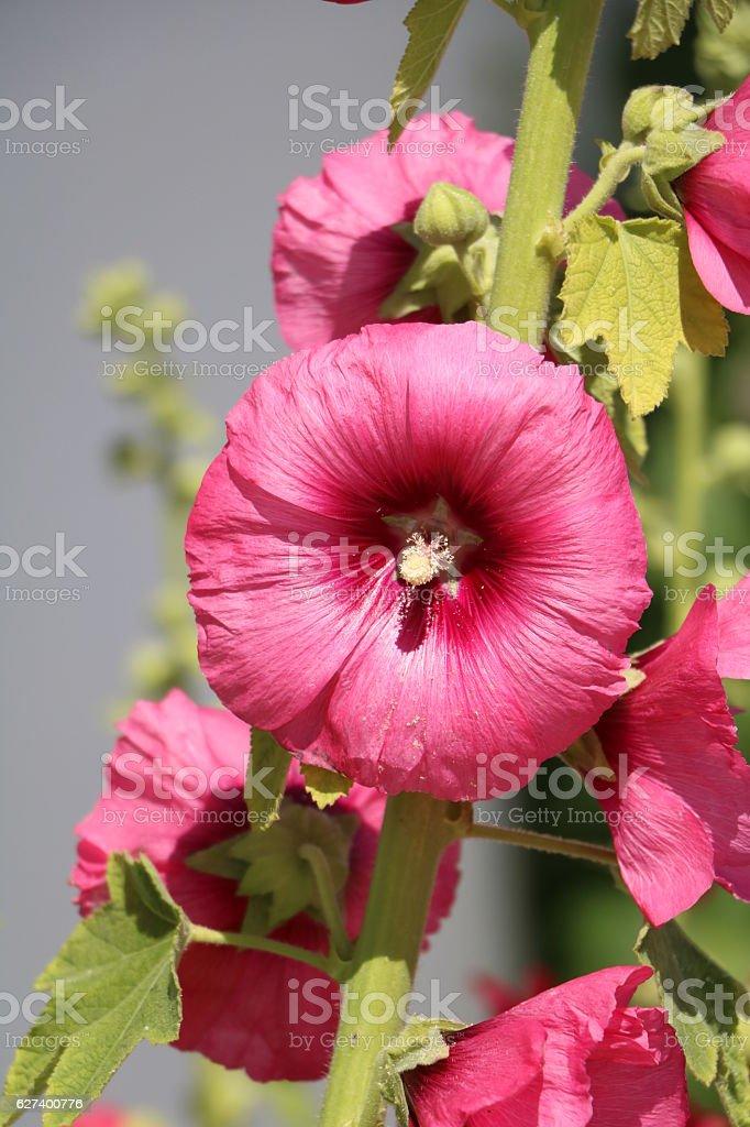 Hollyhock Flowers in a Garden stock photo