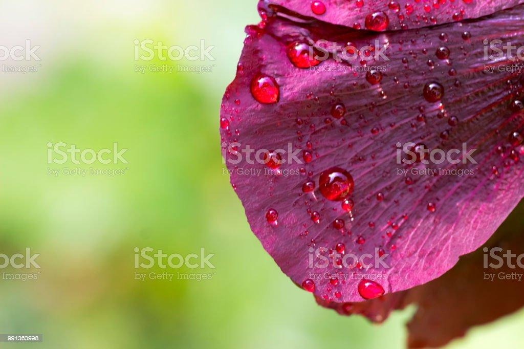 Hollyhock leafwith raindrops stock photo