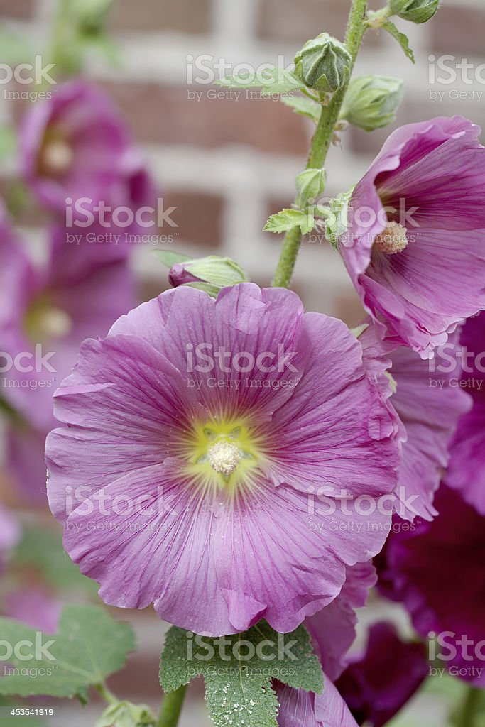 Hollyhock (Alcea rosea) royalty-free stock photo