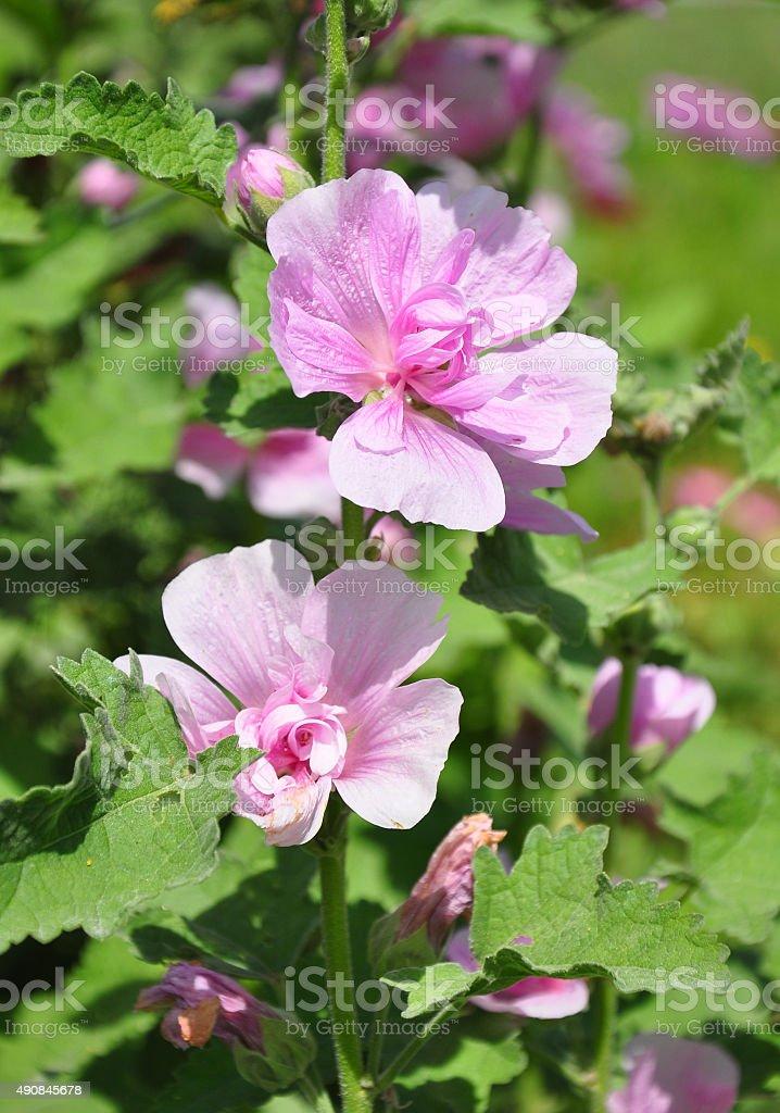 Hollyhock (Alcea hybrida) stock photo
