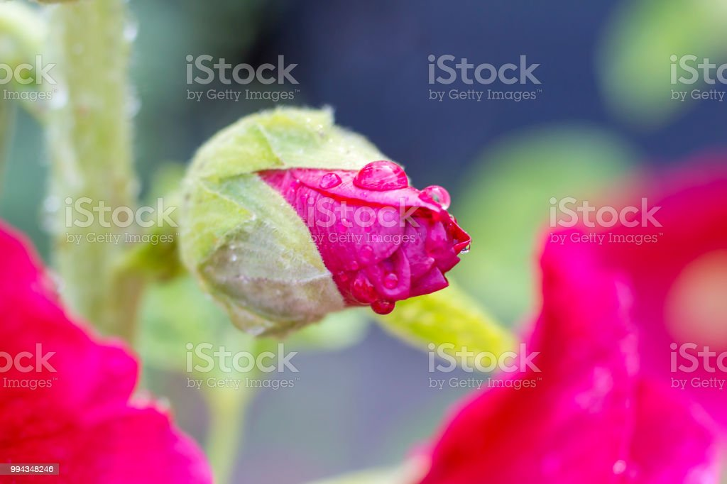 Hollyhock pink after rain stock photo