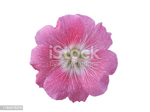 Hollyhock Pink on a white background