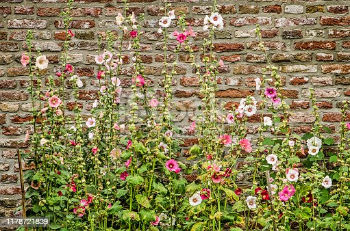 Hollyhocks ranging in color from white to pink growing against an old brick wall in summertime