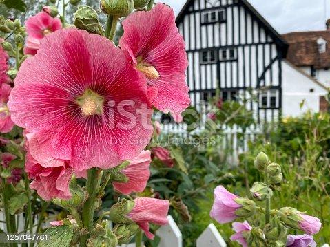 Hollyhocks in Eynsford, England