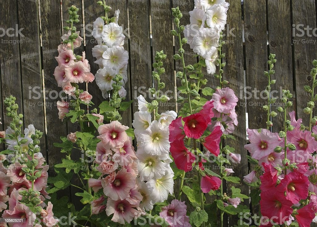 Hollyhocks in front of a fence stock photo