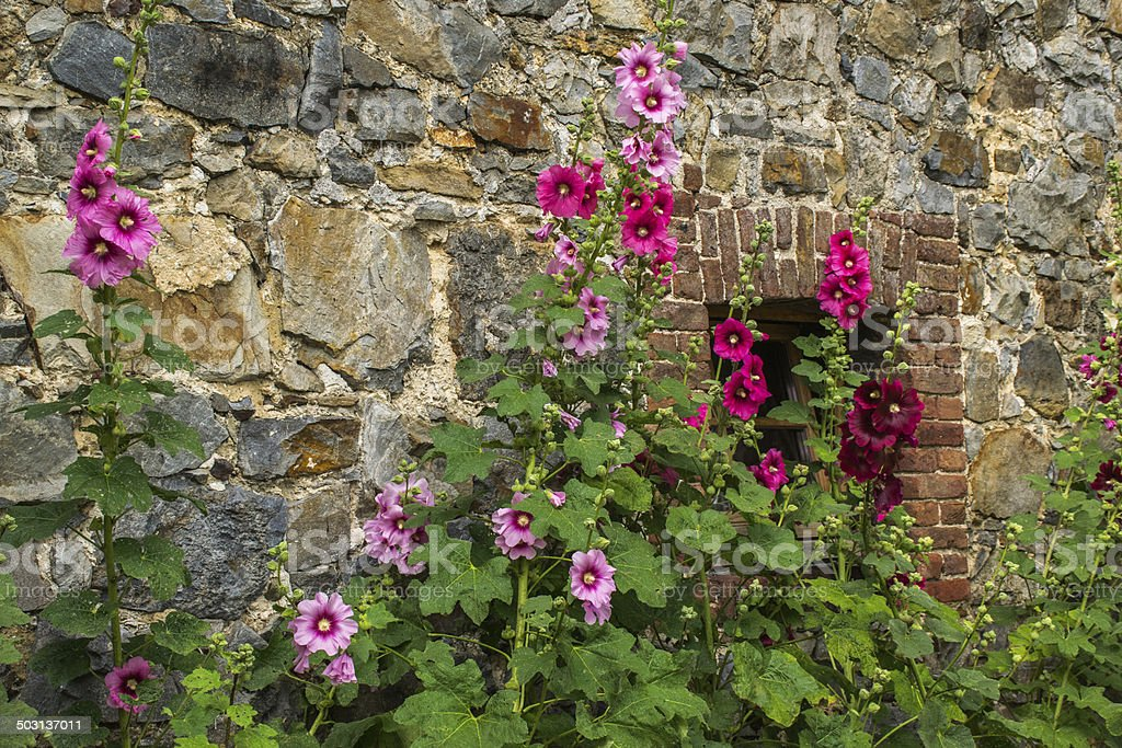 hollyhocks in front of an old wall stock photo