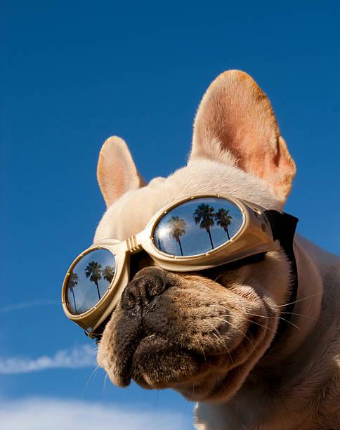 Hollywood dog picture id153534659?b=1&k=6&m=153534659&s=612x612&w=0&h=rubmzi wbztgzacejewsr6su2pcldvah0mugxfjbypw=