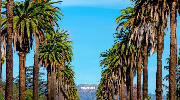 hollywood-skylten och palmer - hollywood sign bildbanksfoton och bilder