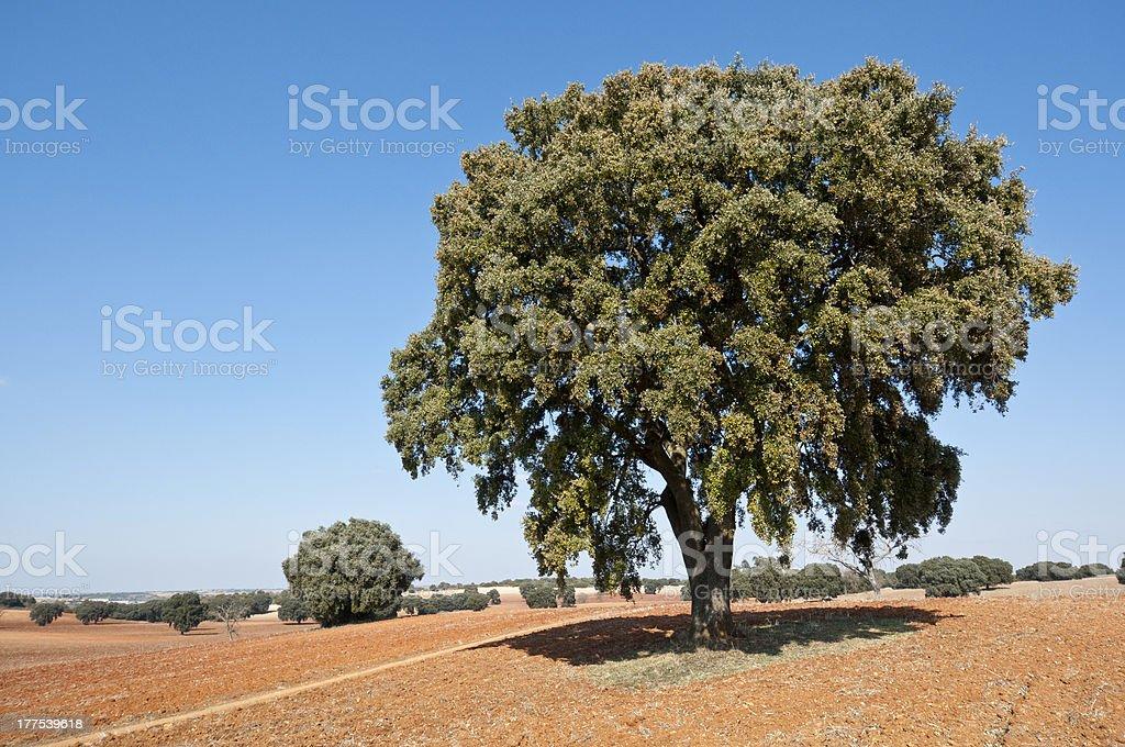 Holm Oak in dehesa stock photo