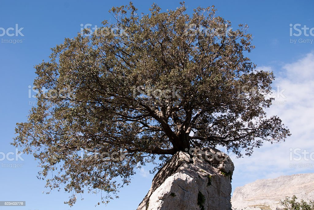 holm oak on rock stock photo