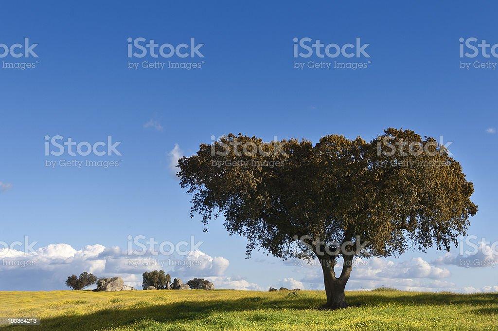 Holm oak stock photo