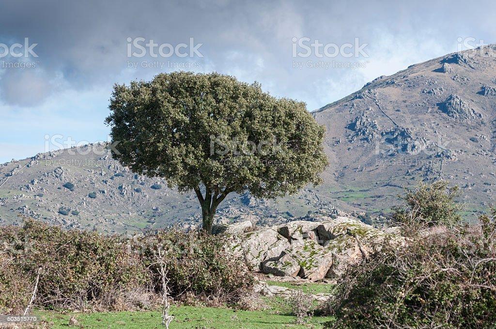 Holm Oak, Quercus ilex, growing next to a stone wall stock photo