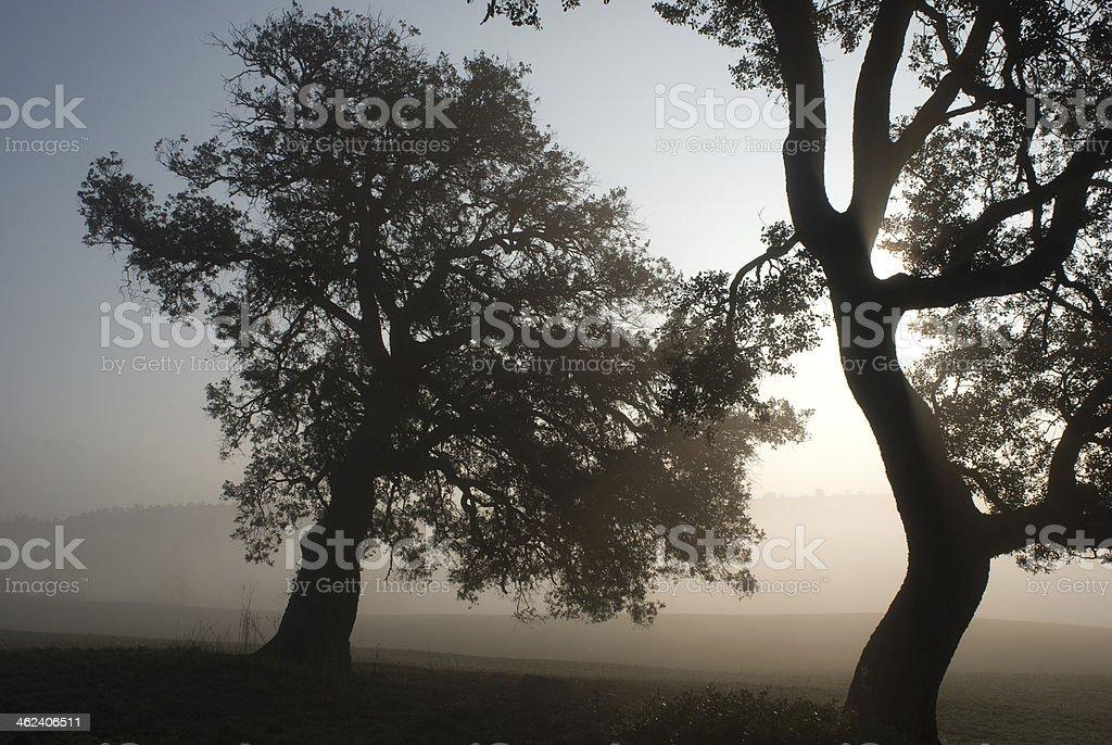 Holm oaks (Quercus ilex), fog and the sun stock photo