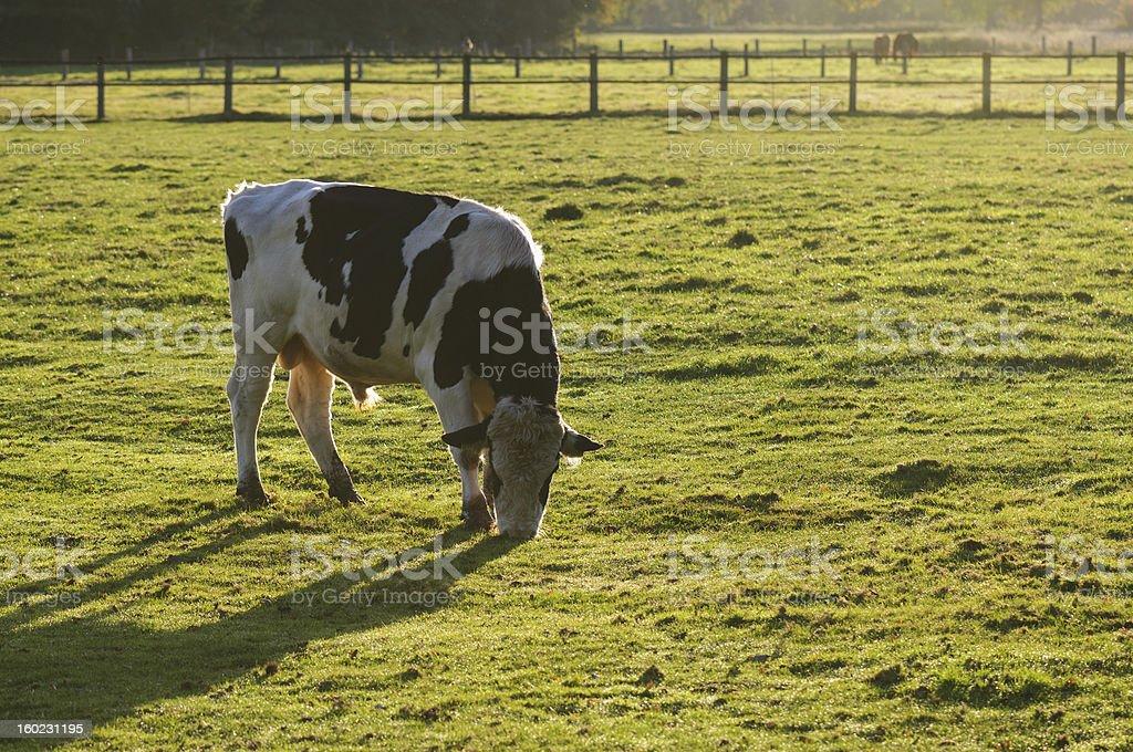 Holstein bull stock photo