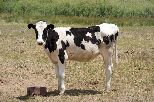 Holstein Calf at Salt Block