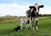 Holstein cow with her newborn twin calves