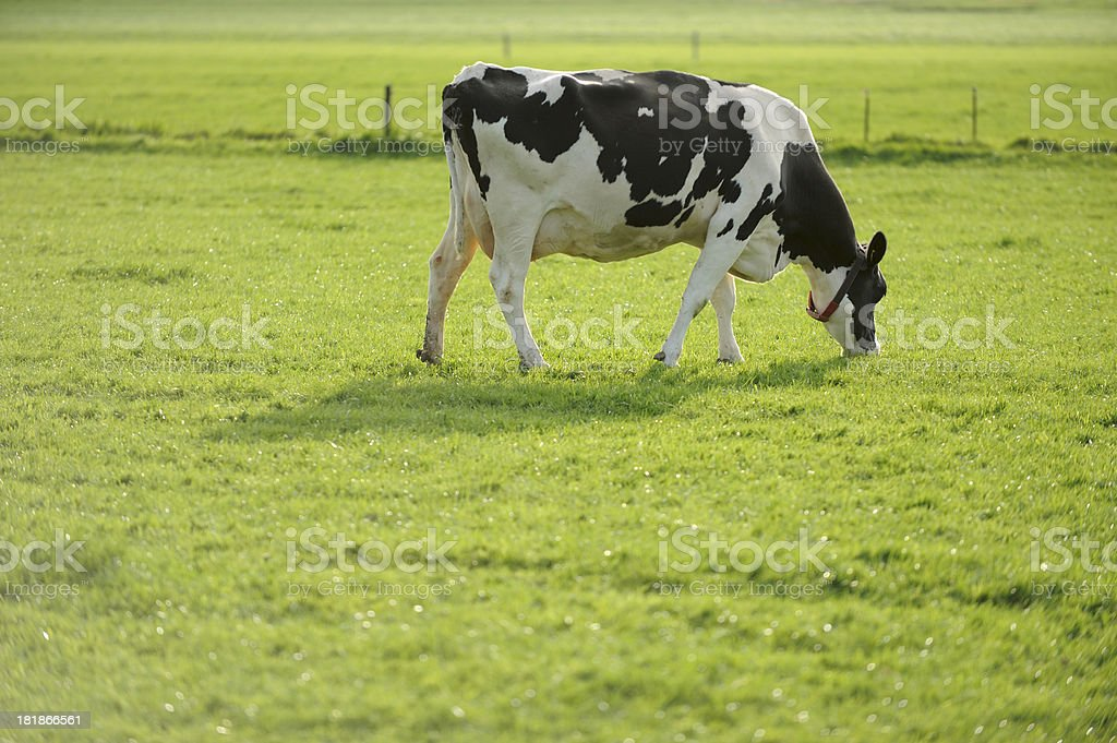 Holstein cow in a meadow royalty-free stock photo