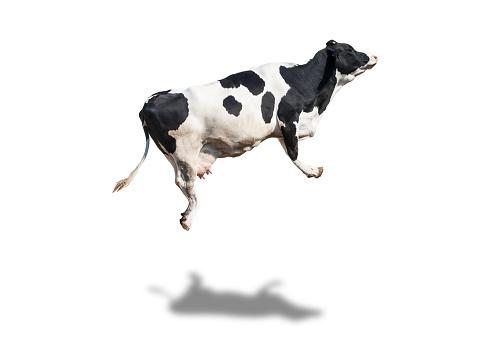 Nellore cattle in large quantities, narrow focus,