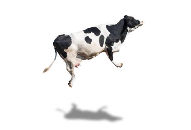 Holstein cow isolated picture id1014745806?b=1&k=6&m=1014745806&s=612x612&w=0&h=xllulzjakuev g 7ofoydq8gd05 rcz 5jba0wz8n 4=