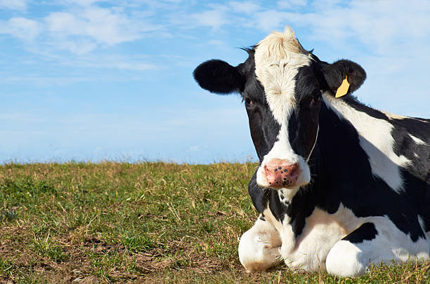 Holstein cow looking at camera. stock photo