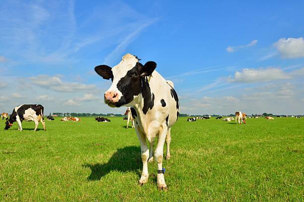 Vacca frisona in verde terreni agricoli - foto stock