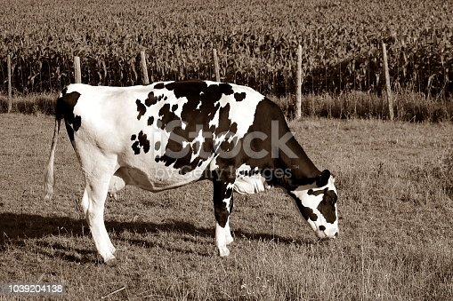 Single Holstein Cow grazing in the field by a crop of corn