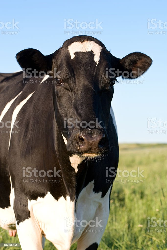 Holstein Kuh – Foto