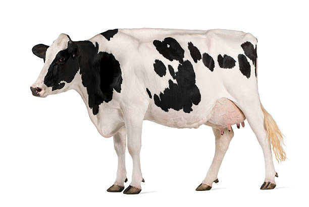 Holstein cow standing in front of white background Holstein cow, 5 years old, standing in front of white background holstein cattle stock pictures, royalty-free photos & images