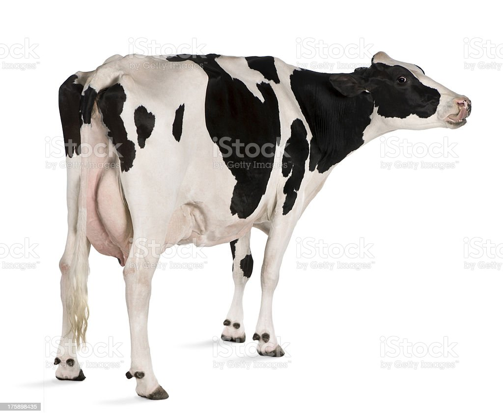 Holstein cow standing in front of white background stock photo