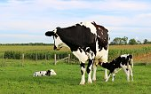 Twin Holstein calves with their mom in the pasture on a sunny day with one laying down