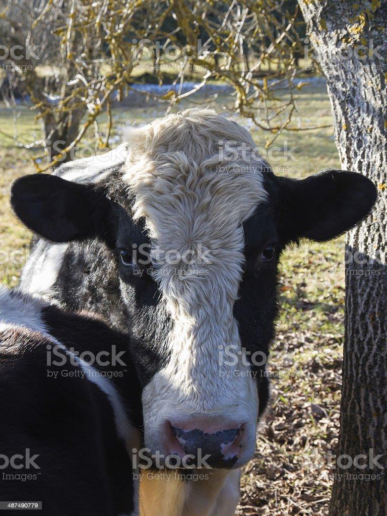 Holstein Cow - Vaca Frisona stock photo