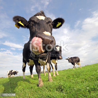 Funny closeup image of a holstein cow in a field, sticking out a huge tongue
