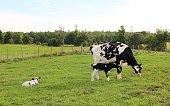 Kühe auf die erholen sich auf der Wiiese