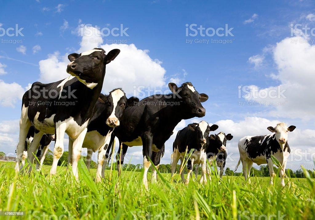Holstein cows stock photo