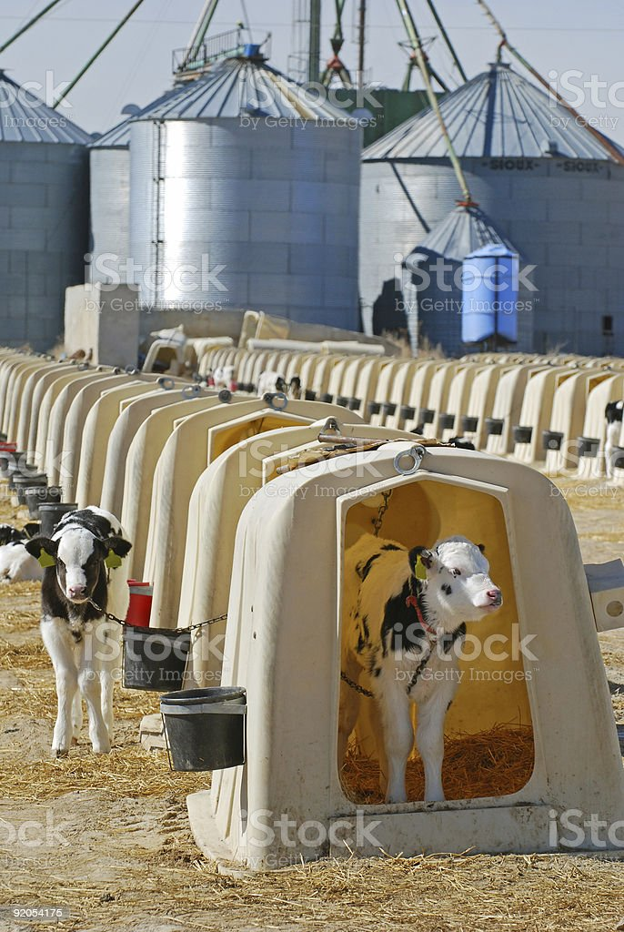 Holstein Dairy Calves royalty-free stock photo